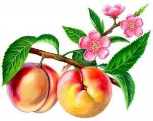 Царственный персидский плод